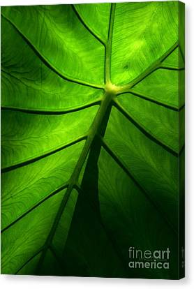 Canvas Print featuring the photograph Sunglow Green Leaf by Patricia L Davidson