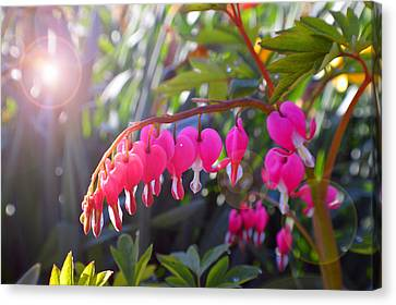 Sunkissed Bleeding Heart Canvas Print by Tina M Wenger