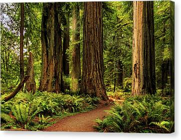 Canvas Print featuring the photograph Sunlight In The Redwoods by James Eddy