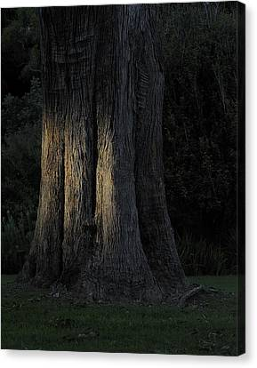 Sunlight On Treetrunk Canvas Print by Barry Culling