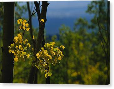 Sunlight Shines On Golden Aspen Tree Canvas Print
