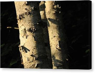 Sunlit Birch Canvas Print