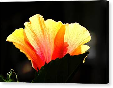 Canvas Print featuring the photograph Sunlit Hibiscus by Diane Merkle