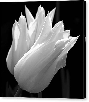 Sunlit White Tulips Canvas Print by Rona Black