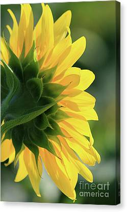 Sunlite Sunflower Canvas Print
