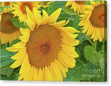 Sunloving Sunflowers Canvas Print by Regina Geoghan