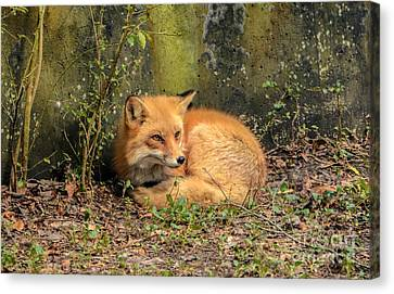 Sunning Fox Canvas Print by Debbie Green