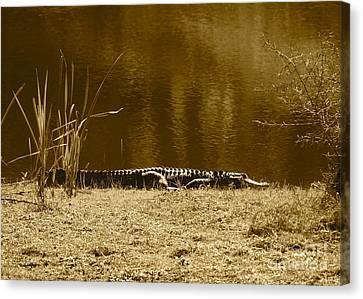 Sunning Gator Canvas Print