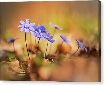 Canvas Print featuring the photograph Sunny Afternoon With Liverworts by Jaroslaw Blaminsky