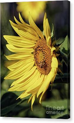 Canvas Print - Sunny Day Sunflower by Natural Focal Point Photography