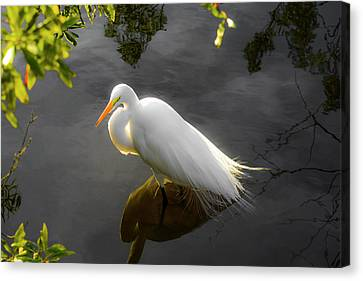 Sunny Egret Canvas Print by Josy Cue