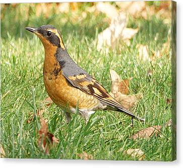Sunny Elmira Varied Thrush Canvas Print by Kris Horton