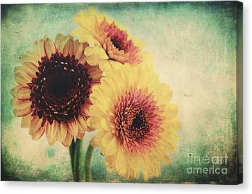 Sunny Gerbera Canvas Print by Angela Doelling AD DESIGN Photo and PhotoArt