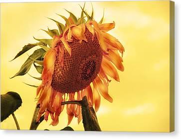 Sunny Canvas Print by Kathleen Stephens