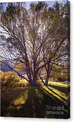 Sunny Mono Tree Canvas Print by Norman  Andrus