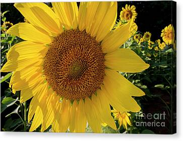 Canvas Print featuring the photograph Sunny Side Up by Chris Scroggins