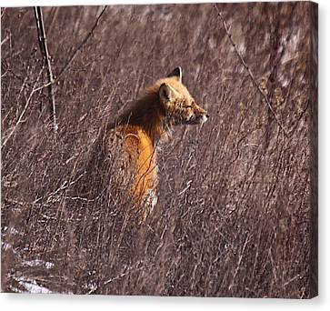 Sunny Soaked Fox Canvas Print by Robert Pearson