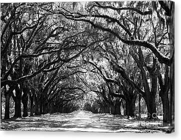 Live Oaks Canvas Print - Sunny Southern Day - Black And White by Carol Groenen