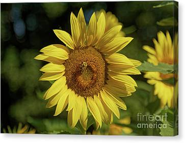 Canvas Print - Sunny Sunflower And Friend by Natural Focal Point Photography