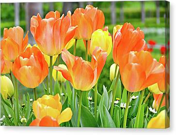Canvas Print featuring the photograph Sunny Tulips by David Lawson