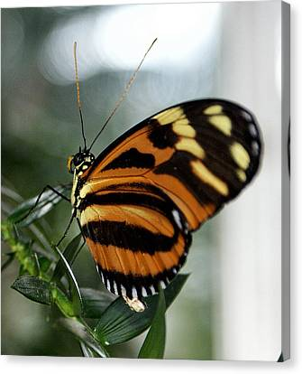 Sunrise Butterfly Canvas Print by Jean Haynes