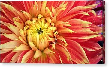 Sunrise Dahlia Canvas Print by Bruce Bley