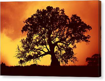 Eucalyptus Canvas Print - Sunrise Gum by Mike  Dawson