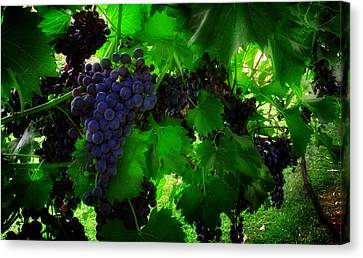 Sunrise In The Vineyard Canvas Print by Greg Mimbs