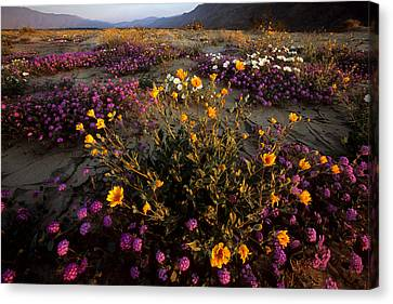Sunrise On Desert Wildflowers Canvas Print by Tim Laman