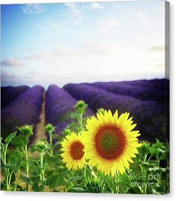 Sunrise Over Sunflower And Lavender Field Canvas Print