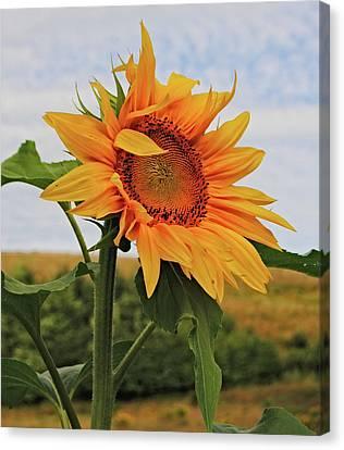 Sunrise Sunflower Canvas Print by Kathleen Sartoris