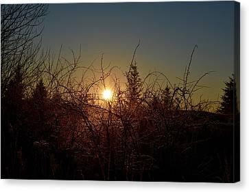 Sunrise Thru The Brush Canvas Print