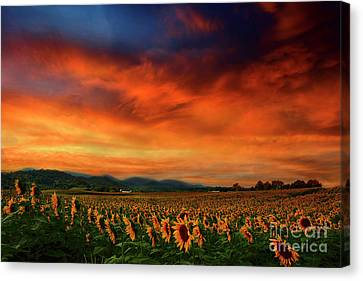 Sunset And Sunflowers Canvas Print by Darren Fisher