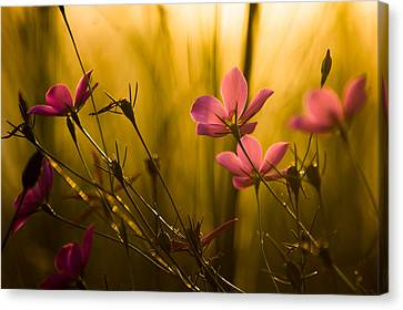 Sunset Beauties Canvas Print