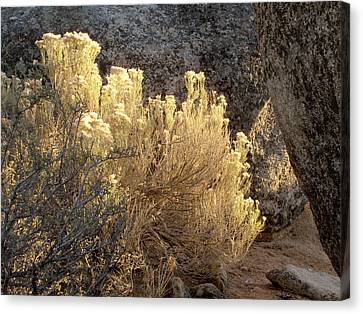 Sunset In The Rabbitbrush Lake Tahoe Sierra Nevada Larry Darnell Canvas Print by Larry Darnell