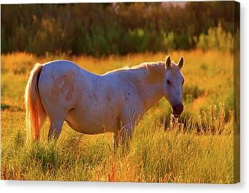 Sunset Mare Canvas Print by Gus McCrea