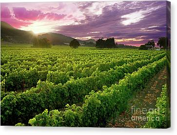 Sunset Over The Vineyard Canvas Print by Jon Neidert