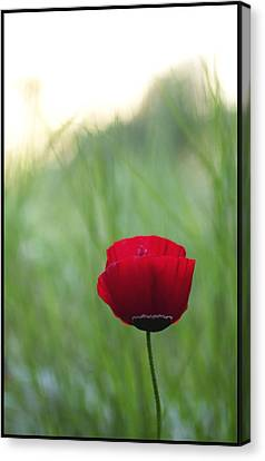 Sunset Poppy Canvas Print by Julia Bridget Hayes