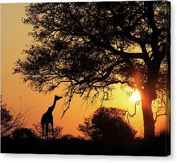 Sunset Silhouette Giraffe Eating From Tree Canvas Print by Susan Schmitz