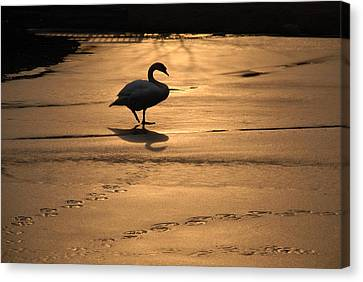 Canvas Print featuring the photograph Sunset Swan by Richard Bryce and Family