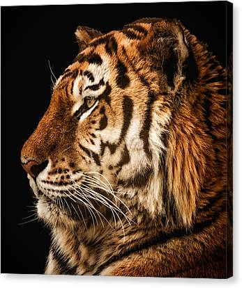 Canvas Print featuring the photograph Sunset Tiger by Chris Boulton