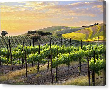 Grape Vines Canvas Print - Sunset Vineyard by Sharon Foster