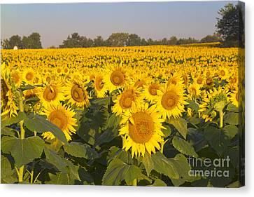 Sunshine Flower Field Canvas Print by Crystal Nederman