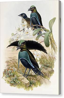 Superb Bird Of Paradise  Canvas Print by John Gould