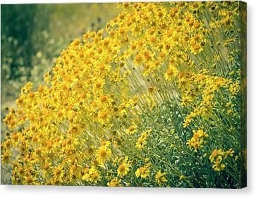 Superbloom Golden Yellow Canvas Print by Amyn Nasser