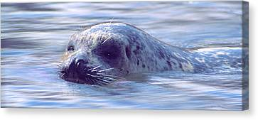 Surfacing Seal Canvas Print by Greg Slocum