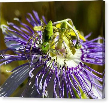 Surprise Passion Green Lynx Spider Canvas Print by Reid Callaway