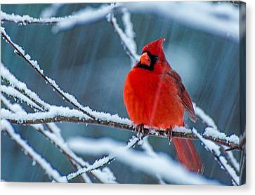 Surprise Snow Canvas Print by John Harding