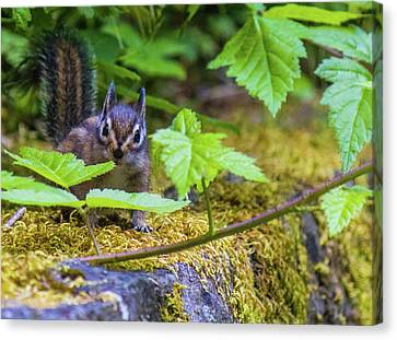 Canvas Print featuring the photograph Surprised Chipmunk by Jonny D
