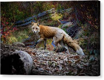Surprising A Red Fox Canvas Print